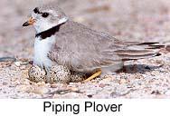 plover1