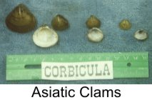 clams-asiatic