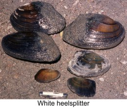 clams-heelsplitter1