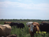 C47_Jeffrey_Island_cattle_TN
