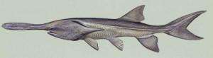 paddlefish-underwater-polyodon-spathula