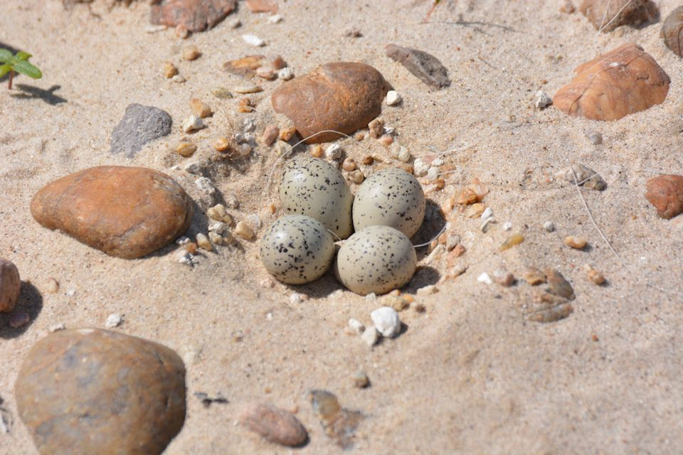 Plover eggs in a nest, a small scrape in the sand, exhibit the camouflage that provides protection. Photo by Dillon Schroeder.