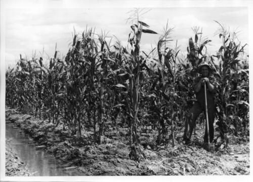 irrigated crops taller than man