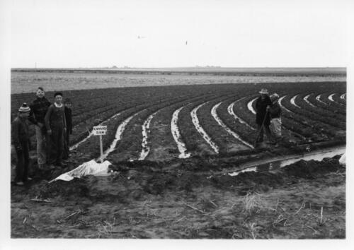 flood irrigation